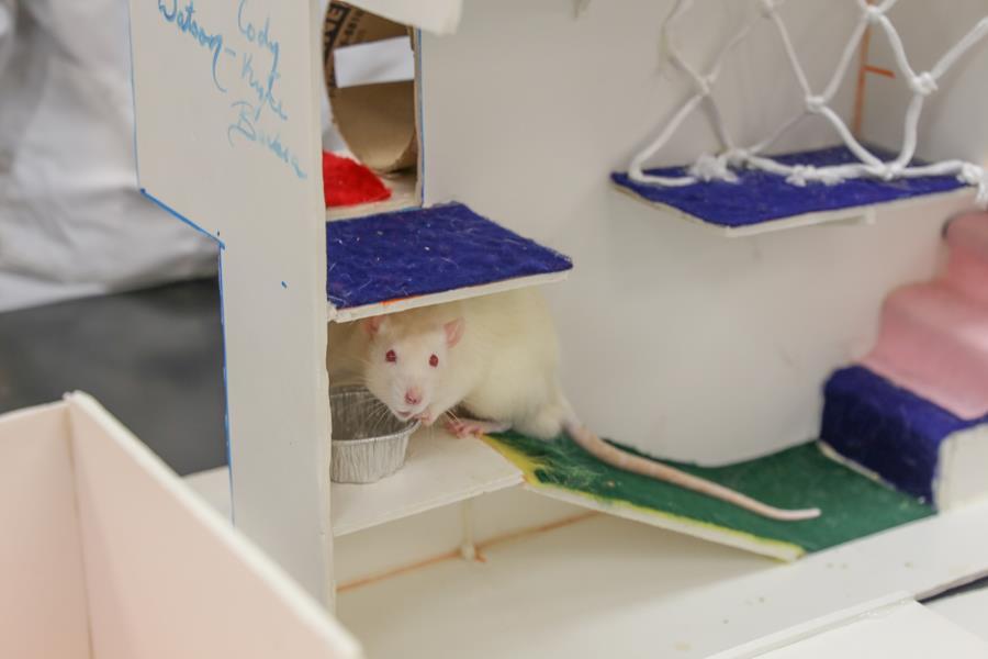Rat Olympics Test Run